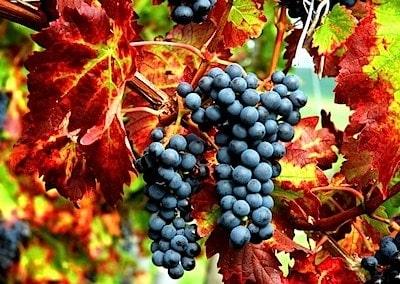 grapesleaves